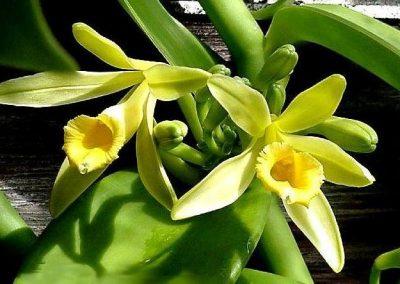 Vanilla-Orchid