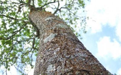 12 Year Sandalwood Tree At The Summit