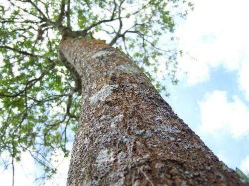 Big sandalwood tree  (1)