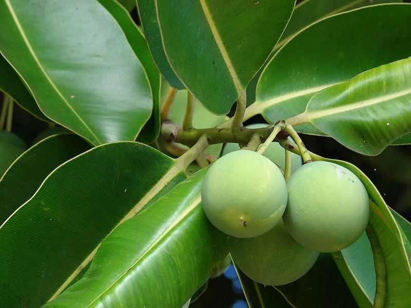 Tamanu Oil (Calophyllym inophyllum)