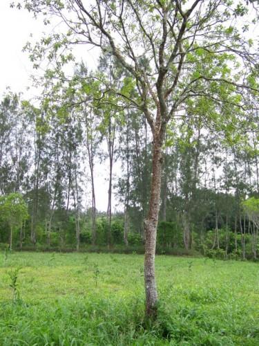 Big sandalwood tree  (2) (Small)