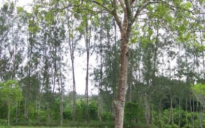 The Summit Sandalwood Plantation