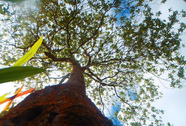 the-summit-plantation-1 | Sandalwood, Tamanu & Nangai Oil