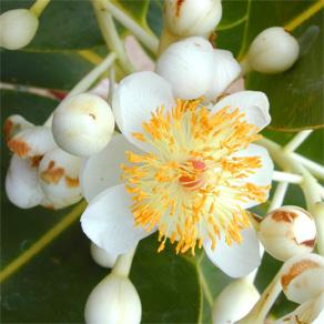 tamanu-flower3